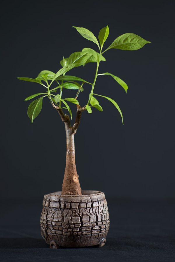 Adansonia-digitata-2-roky
