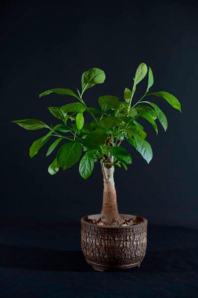 Adansonia-digitata-5-rokov