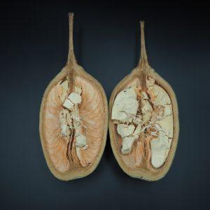 Plod Adansonia Digitata 2