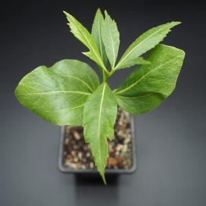 Sadenice Adansonia za
