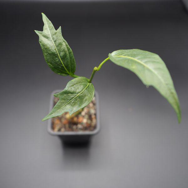 Sadenica Adansonia Grandidieri