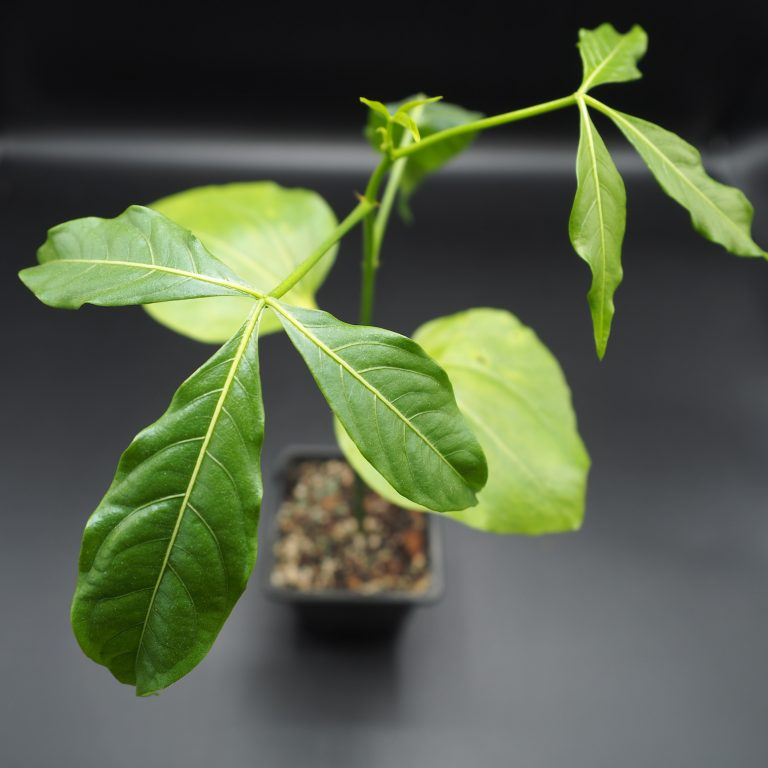 Sadenica Adansonia Perrieri