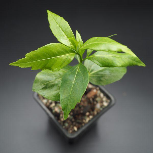 Sadenica Adansonia Rubrostipa fony